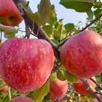 [한식단] 경북영주사과 10kg 껍질째먹는 꿀부사사과