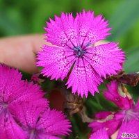 구해줘 수염패랭이 [4포트] 스윗윌리엄 핑크 (모종 복남이네야생화 패랭이 긴개화 석죽 dianthus barbatus sweet william pink)