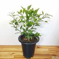 한라봉 나무 50-70cm ( 황금향 레드향 천혜향 귤나무 제주도 )
