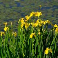 노랑꽃창포 포트 야생화 꽃모종 지선원야생화