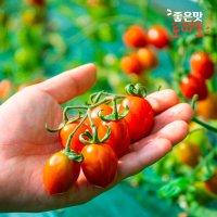 [좋은맛] 방울토마토 대추방울토마토 3kg 5kg / 시장직송 달달한 방울토마토