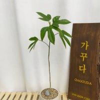 황칠나무,공기정화식물,안식향,고급인테리어,플랜테리어
