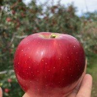 충주 사과 햇 꿀 산지직송 껍질째 먹는 홍옥 부사 선물용 가정용 5kg 10kg